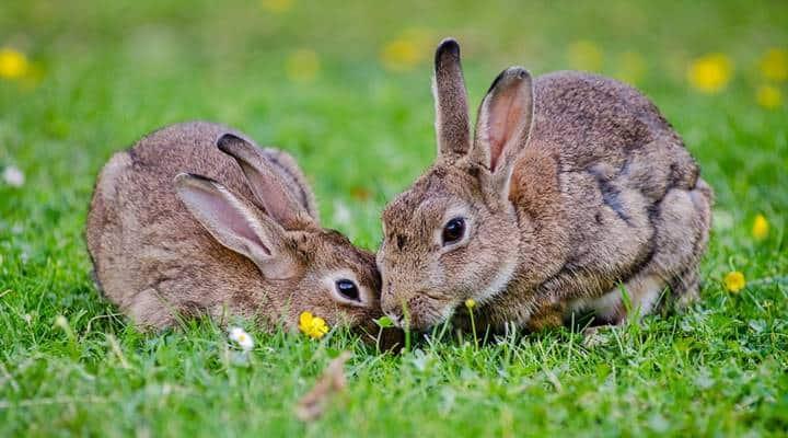 Sering sekali pembahasan mengenai kelinci 7 Perawatan Kelinci Australia yang Mudah Diterapkan