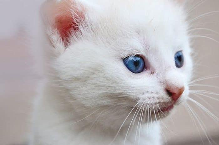 6 Cara Alami Memutihkan Bulu Kucing agar Terlihat Cantik