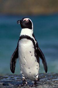 Penguin Afrika (Penguin jackass)