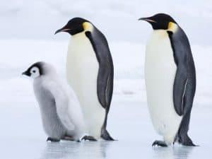 Penguin Emperor (Aptenodytes forsteri)