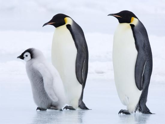 17 Jenis-Jenis Penguin di Dunia dan Ciri-cirinya