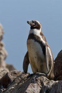 Penguin Humboldt (Spheniscus humboldti)