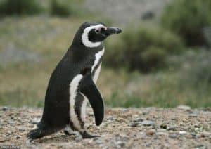 Penguin Magellan (Spheniscus magellanicus)