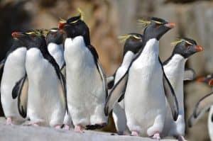 Penguin Rockhopper (Eudyptes chrysocome)