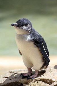 Penguin White Flippered (Eudyptula albosignata)