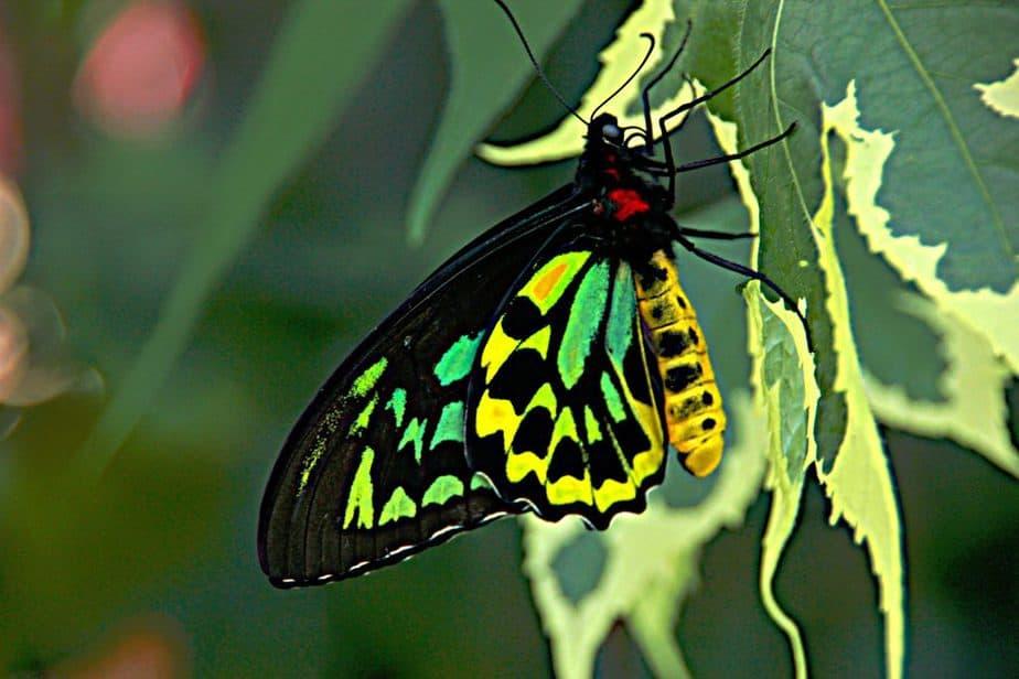 Queen Alexandra Birdwing Butterfly