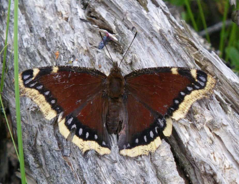 The Mourning Cloak Butterfly