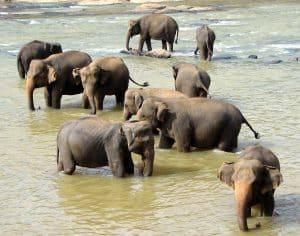 Gajah adalah hewan herbivora dan merupakan kelompok mamalia yang termasuk dalam family Ele 5 Jenis Gajah di Dunia dan Persebarannya