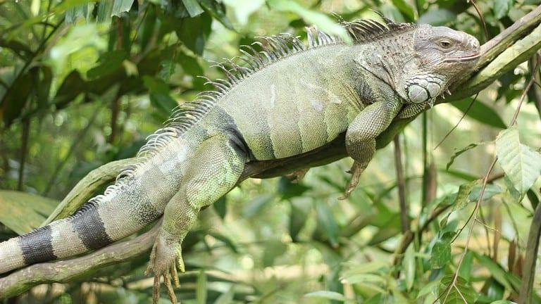 5 Cara Memelihara Iguana di Rumah yang Tepat