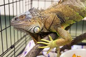 5 Bahaya Memelihara Iguana di Rumah yang Perlu Diperhatikan