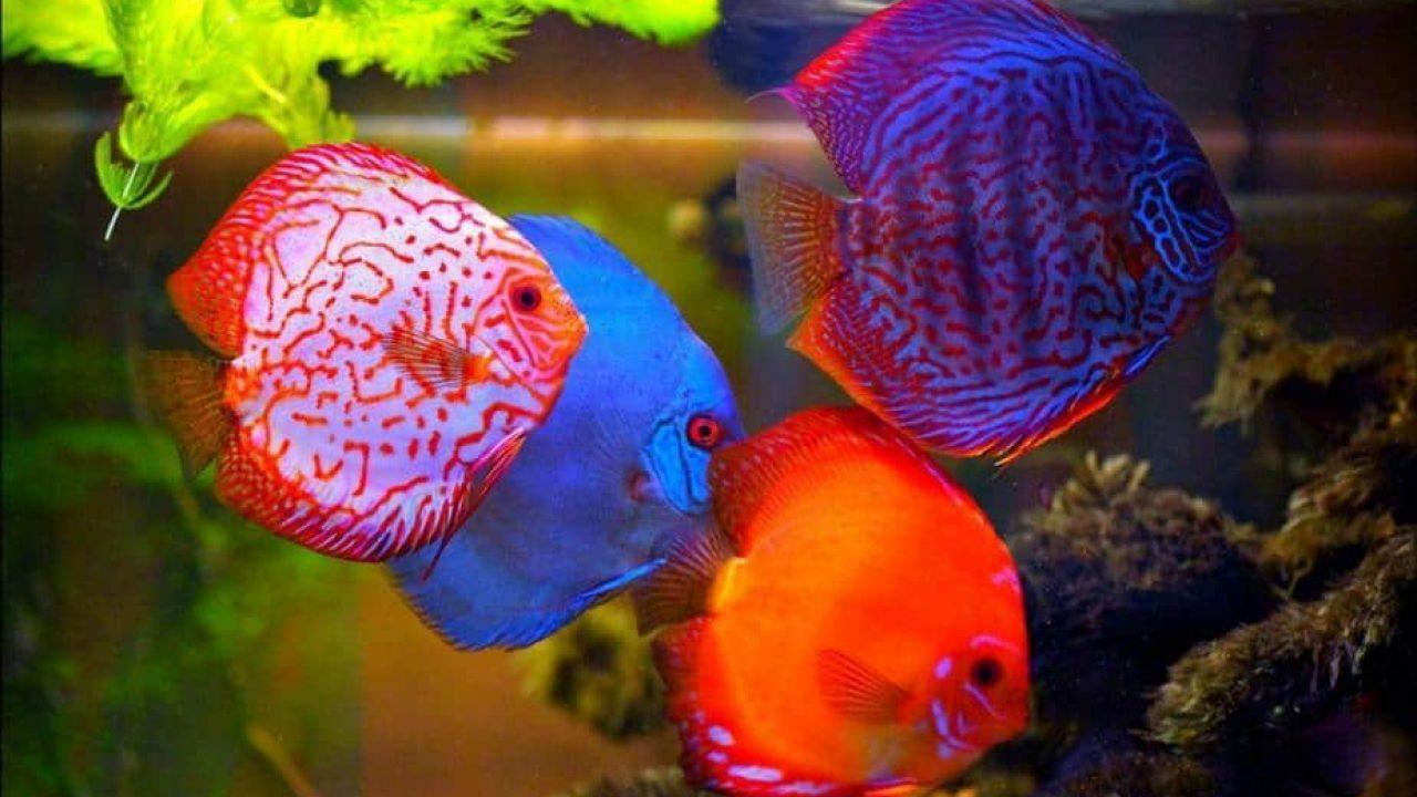 8 Makanan Ikan Discus Agar Cepat Besar Arenahewan Com