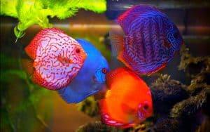 Kelompok ikan hias ini terdiri dari tiga jenis spesies 8 Makanan Ikan Discus agar Cepat Besar