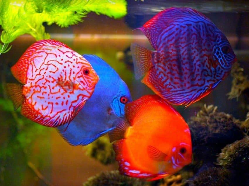 8 Makanan Ikan Discus agar Cepat Besar