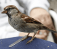 7 Makanan Burung Gereja yang Bernutrisi Tinggi