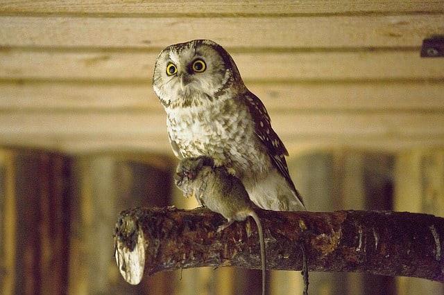 6 Cara Memberi Minum Burung Hantu Paling Tepat