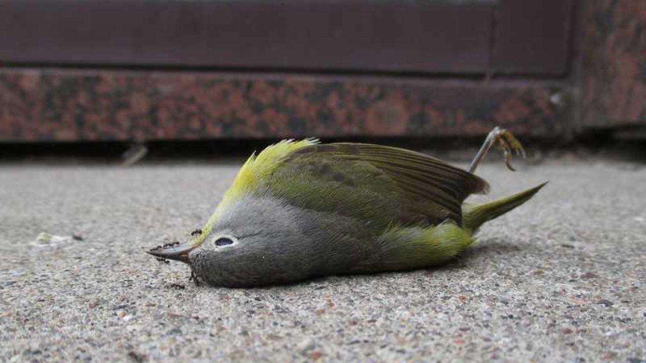 ♘ Hangat Mimpi memelihara burung togel