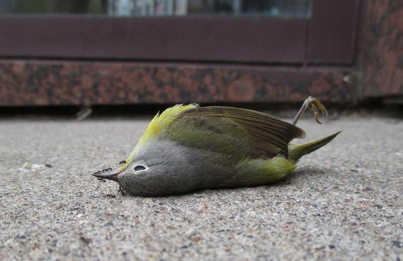 yakni unggas yang seringkali anda temui baik di 6 Arti Burung Mati di Depan Rumah
