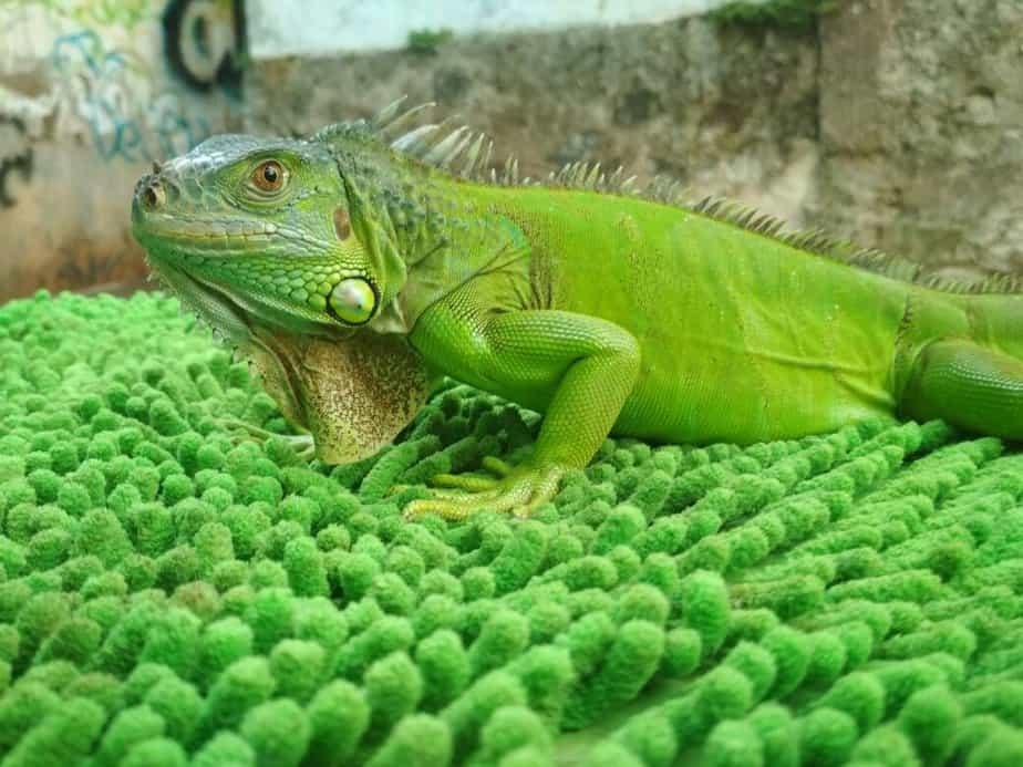 tentu sering mendengar hewan bernama iguana 7 Cara Menjinakkan Iguana Hijau untuk Pemula