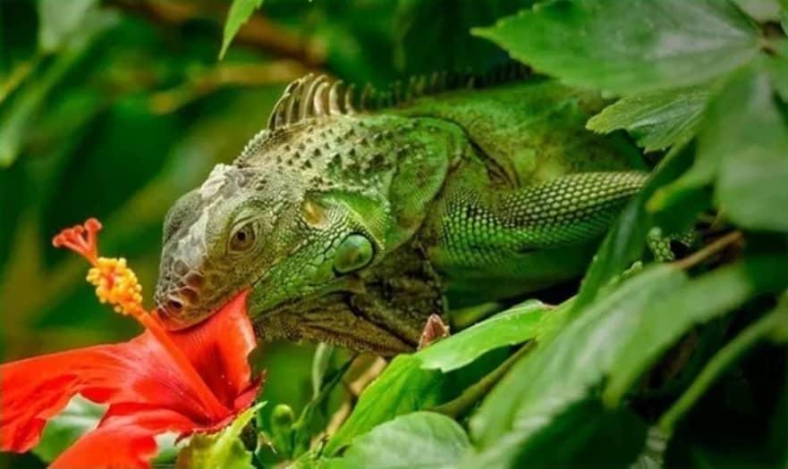 Makanan Iguana di Alam liar