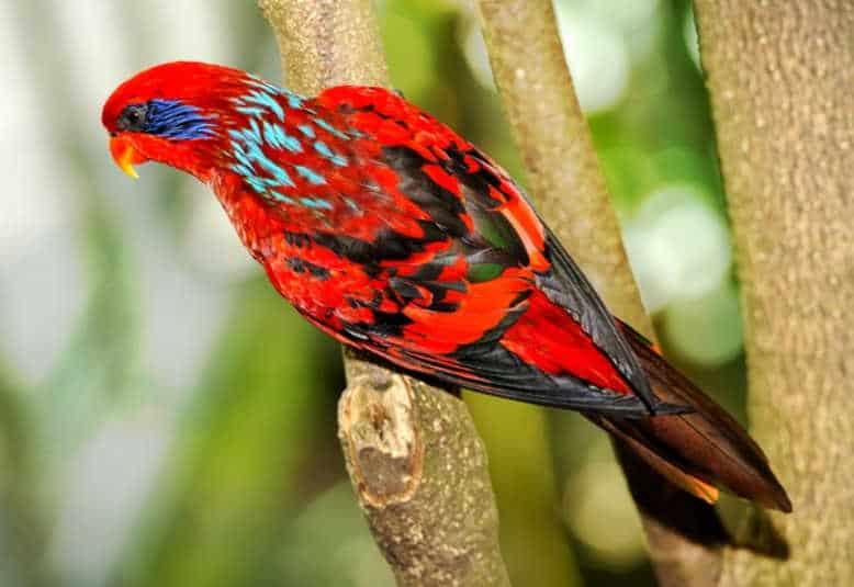 Burung Nuri Papua Maluku