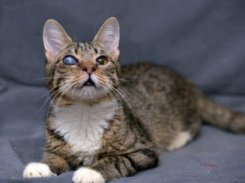 3 Penyakit yang Sebabkan Mata Kucing Seperti Katarak