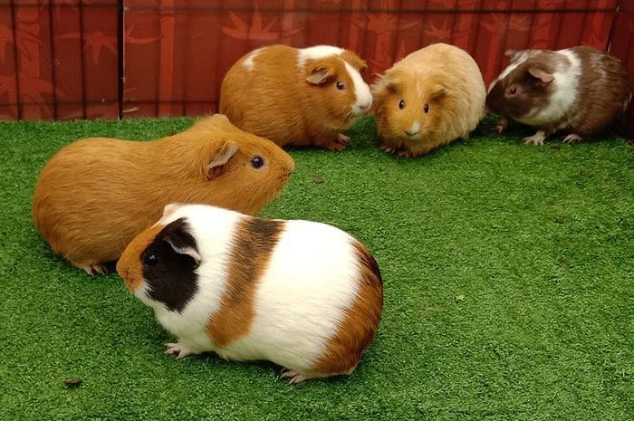 orang mengaitkan marmut dengan hamster ataupun tikus 5 Cara Mengawinkan Marmut dengan Baik Agar Cepat Beranak