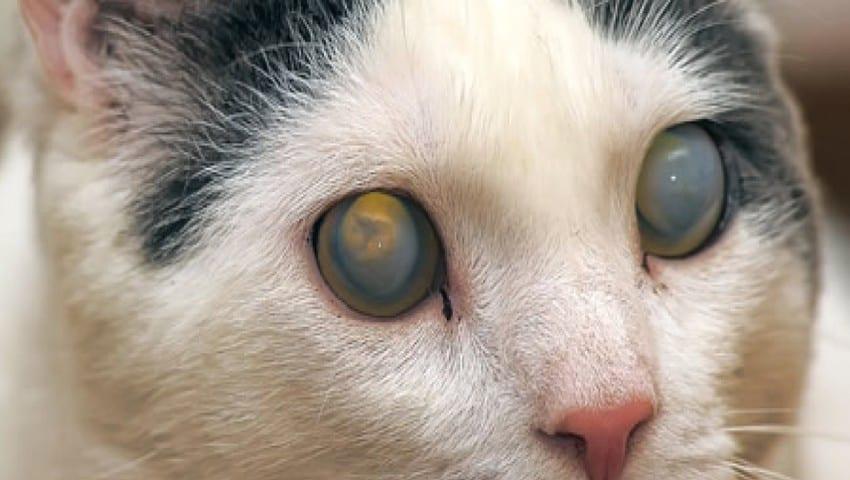 Penyebab Mata Kucing Tertutup Setengah dan Cara Mengatasinya