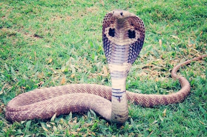 merupakan salah satu jenis binatang yang ditakuti banyak orang 5 Jenis Ular Kobra yang Perlu Diketahui