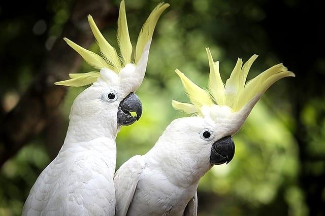6 Peran Burung Kakatua Dalam Habitatnya - ArenaHewan.com