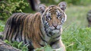 Harimau Melayu