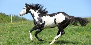 Kuda American Paint