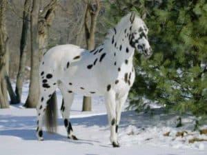 Kuda Appaloosa