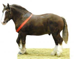 Kuda Breton