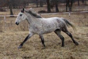 Kuda Curly
