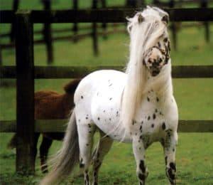 Kuda Falabella