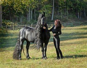 Kuda Frisian