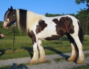 Kuda Gipsi