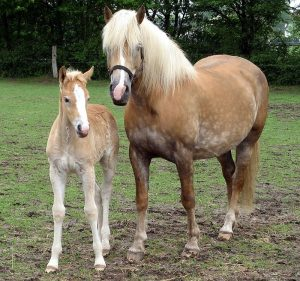 Kuda Haflinger