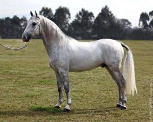 Kuda Lipizzan