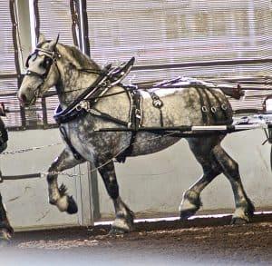 Kuda Percheron