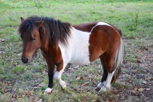 Kuda Poni Shetland