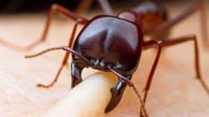 Semut Tentara
