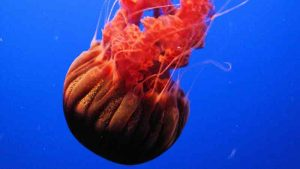 Black Sea Nette