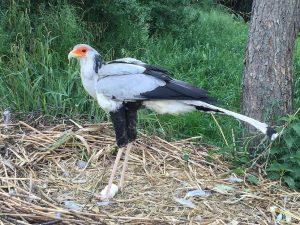 Burung Sekretaris