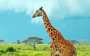 Jerapah Masai