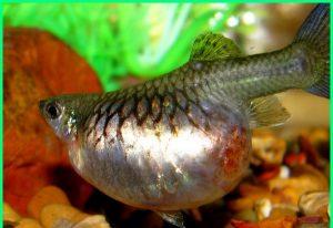Ikan Guppy Hamil