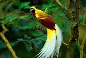 Cendrawasih Kuning Kecil