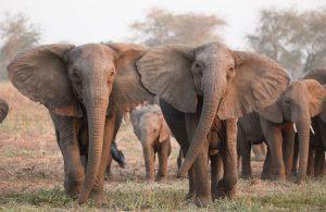 Ciri Gajah Afrika