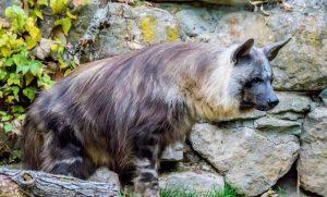 Hyena Coklat