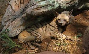 Hyena Loreng